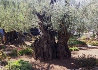 5-7  large olive tree.jpg