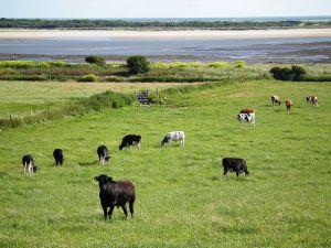 cows-1013108__480