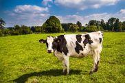 cow-2132526__480
