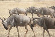 wildebeest-1510901__480