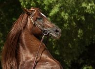 horse-1438258__480