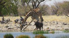 giraffe-2780126__480