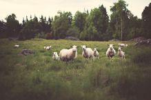 sheep-336474__480