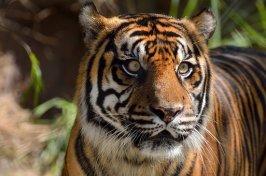 sumatran-tiger-1542726__340.jpg