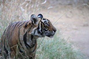 tiger-4083608__340.jpg