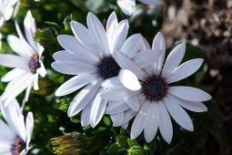 cape-daisy-4155341__340